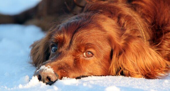 Dog lying in the snow